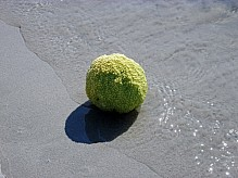 Adam's apple on the seashore.