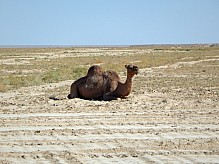 Dromedary Camel lies.